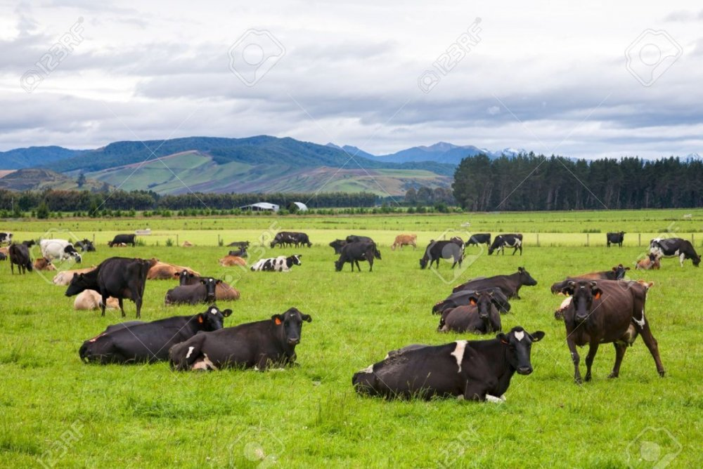 51865800-cows-grazing-at-a-pasture-in-new-zealand.jpg